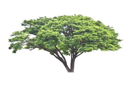 samanea saman: Rain tree  Samanea saman , tropical tree in the northeast of Thailand isolated on white background  Stock Photo