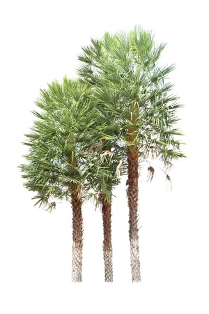 dactylifera: Date palm  Phoenix dactylifera , tropical tree in the northeast of Thailand isolated on white background