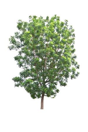Neem Pflanze Azadirachta indica, tropischen Baum in Thailand auf weißem Hintergrund Standard-Bild - 20329918