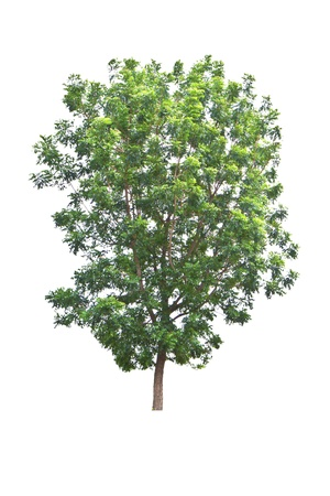 Neem plant  Azadirachta indica , tropical tree in Thailand isolated on white background Banco de Imagens