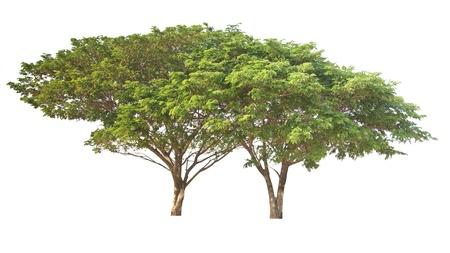 Big tree isolated, Common name   saman, rain tree, monkeypod, giant thibet, inga saman, cow tamarind, East Indian walnut, Binomial name   Albizia saman