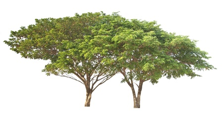 Big tree isolated, Common name   saman, rain tree, monkeypod, giant thibet, inga saman, cow tamarind, East Indian walnut, Binomial name   Albizia saman