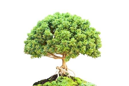 rutaceae: Murraya paniculata �rbol Bonsai.