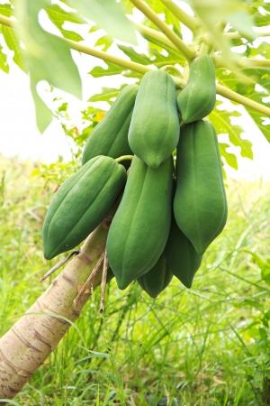 papaya on the papaya tree.