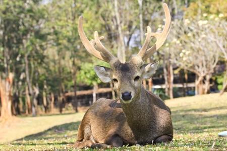 Deer close-up.