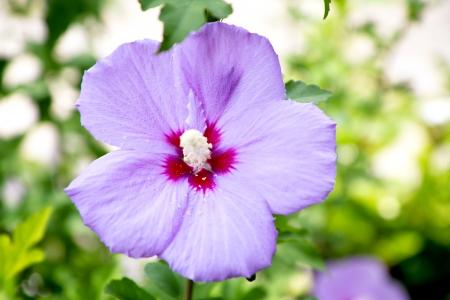terrena: Primo piano di rosa fiori di ibisco. Archivio Fotografico