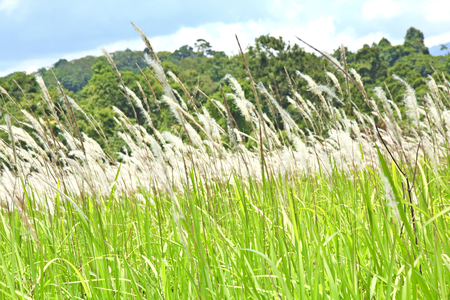 imperata: Featherl grass ( imperata cylindrica ), commonly found in South East Asia. Stock Photo