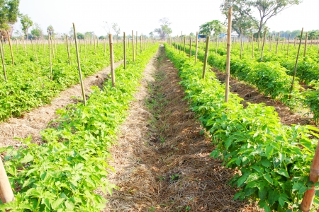 Rows of tomato plants in field. Stock Photo