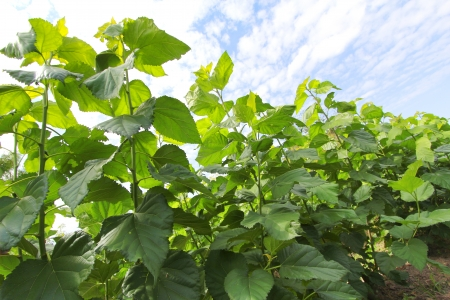 Growing mulberry tree at field Stock Photo
