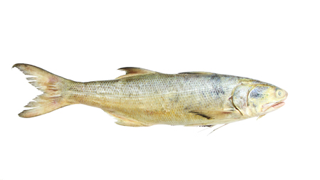spat: Juvenile Threadfin Salmon,isolated on white background
