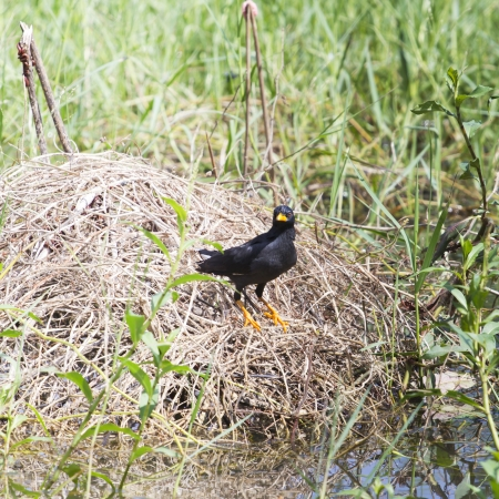 vented: white vented myna on nature background. Stock Photo