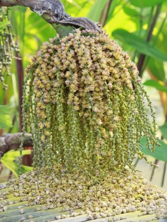 Ripe Betel Nut Or Are-ca Nut Palm On Tree. Stock Photo