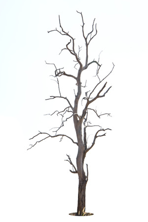 Dead and dry tree is isolated on white background. photo