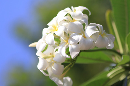 Beautiful white flower in thailand, Lan thom flower. photo