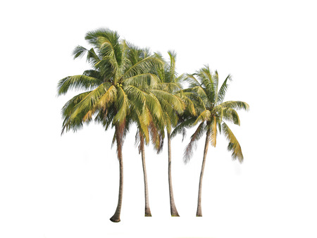 three palm trees: Four coconut palm trees isolated on white background.