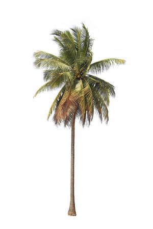 Coconut Baum isoliert auf weißem Hintergrund. Standard-Bild - 25109642