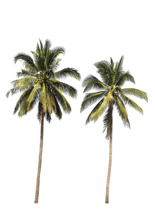 coconut tree isolated on white background. Banco de Imagens
