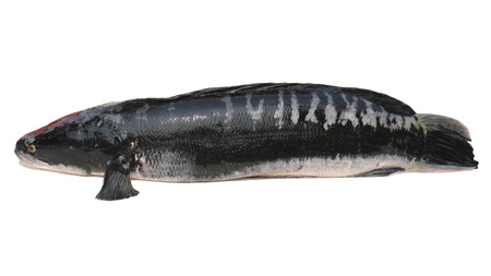 Giant snakehead fish isolated on white background. photo