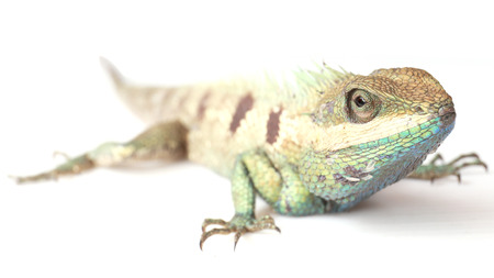 Close up chameleon isolated on white background. photo