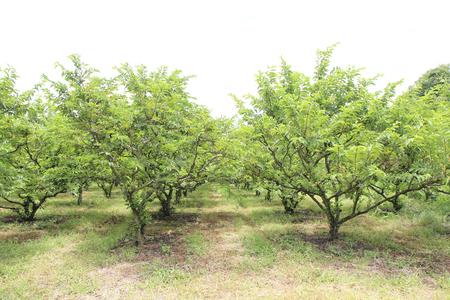 chirimoya: Natillas manzano en el jard�n. Foto de archivo