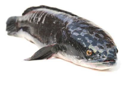 Giant snakehead fish. photo