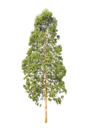 Eucalyptus tree, isolated on white background.