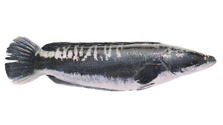 Giant snakehead fish isolated on white background. Stock Photo