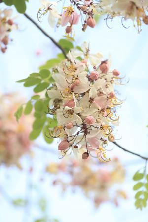 cassia: Beautiful Cassia javanica blossom flower. Stock Photo
