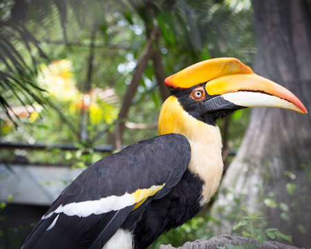 Close up head of Great hornbill (Great indian hornbill, Great pied hornbill). photo