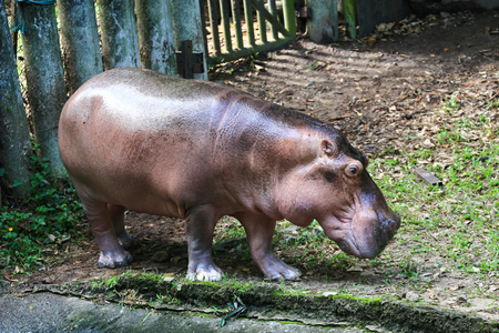 herbivore: Hippo out of water,Thailand Stock Photo