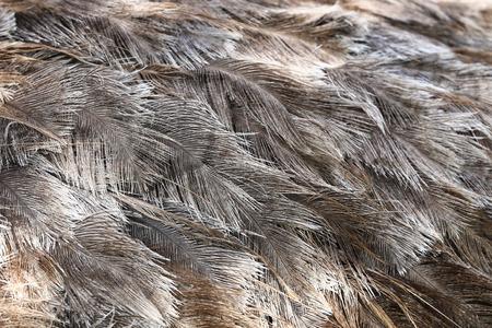 Ostrich bird feather brown texture background. photo