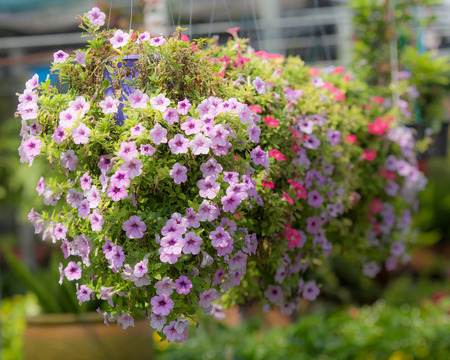 agricultura: petunia in hanging baskets.