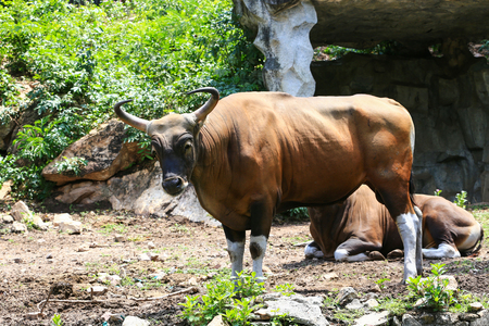 gaur in kao kheow open zoo Chonburi,Thailand. photo