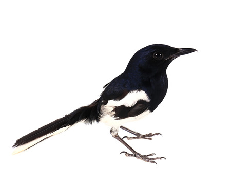 pica: Side view of a Common Magpie, Pica pica, isolated on white.