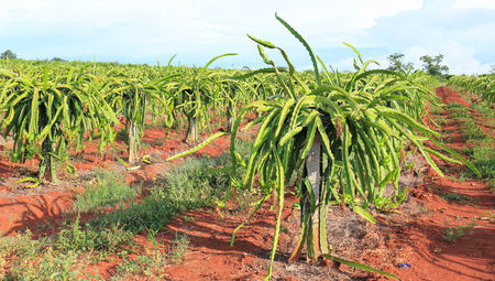 dragon fruit tree  in field. photo
