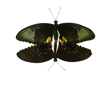 Mating butterflies isolate, white background photo