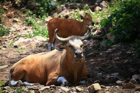 korat: gaur in Korat open zoo Korat,Thailand