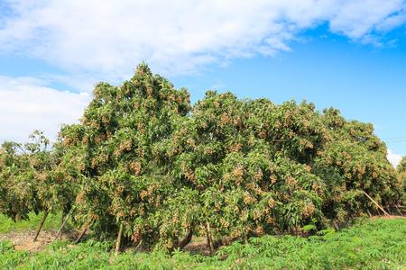 Tropical fruits longan on the tree. photo