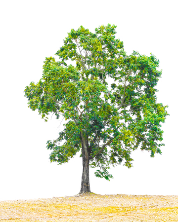 Pterocarpus indicus known by several common names, including Amboine, Pashu Padauk, Malay Paduak, New Guinea Rosewood, tropical tree in the northeast of Thailand isolated on white background. Stock Photo