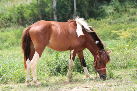 Bay horse grazing in spring pasture.