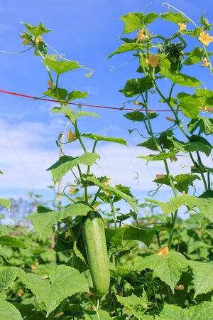 Plant of cucumber in countryside Thailand Stock Photo