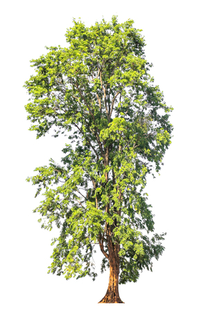 rosewood: Pterocarpus indicus known by several common names, including Amboine, Pashu Padauk, Malay Paduak, New Guinea Rosewood, tropical tree in the northeast of Thailand isolated on white background. Stock Photo