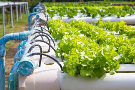 Organic hydroponic vegetable garden. Archivio Fotografico