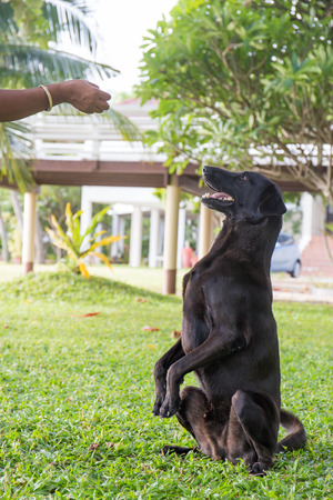 black dog Labrador outdoor training process. Stock Photo