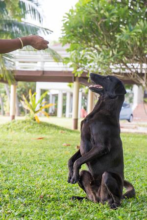black dog Labrador outdoor training process. Archivio Fotografico