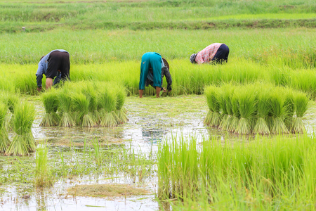 transplanting: Rice farmers are withdrawing the seedlings to transplanting