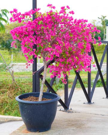 Pink bougainvillea flower in pot.