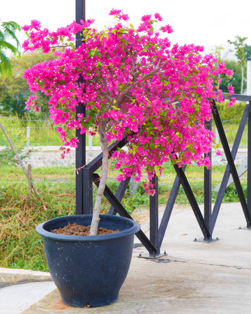 Pink bougainvillea flower in pot.