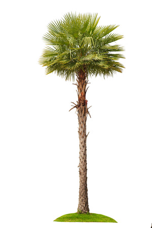 palm tree isolated on white background. Banco de Imagens