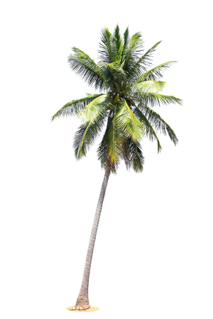 coconut palm trees isolated on white background.